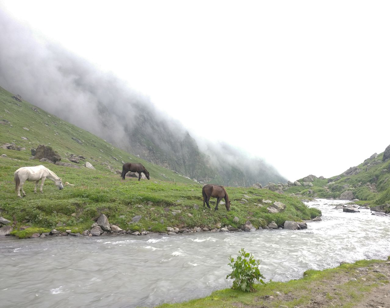 Horses grazing green grass beside the stream with mist covering the top of the mountians in left