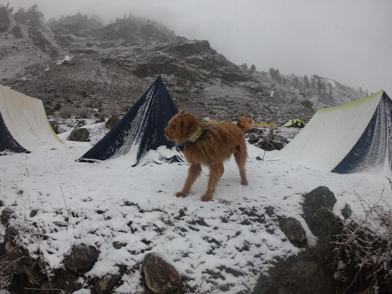 brown colour dog at har ki dun campsite