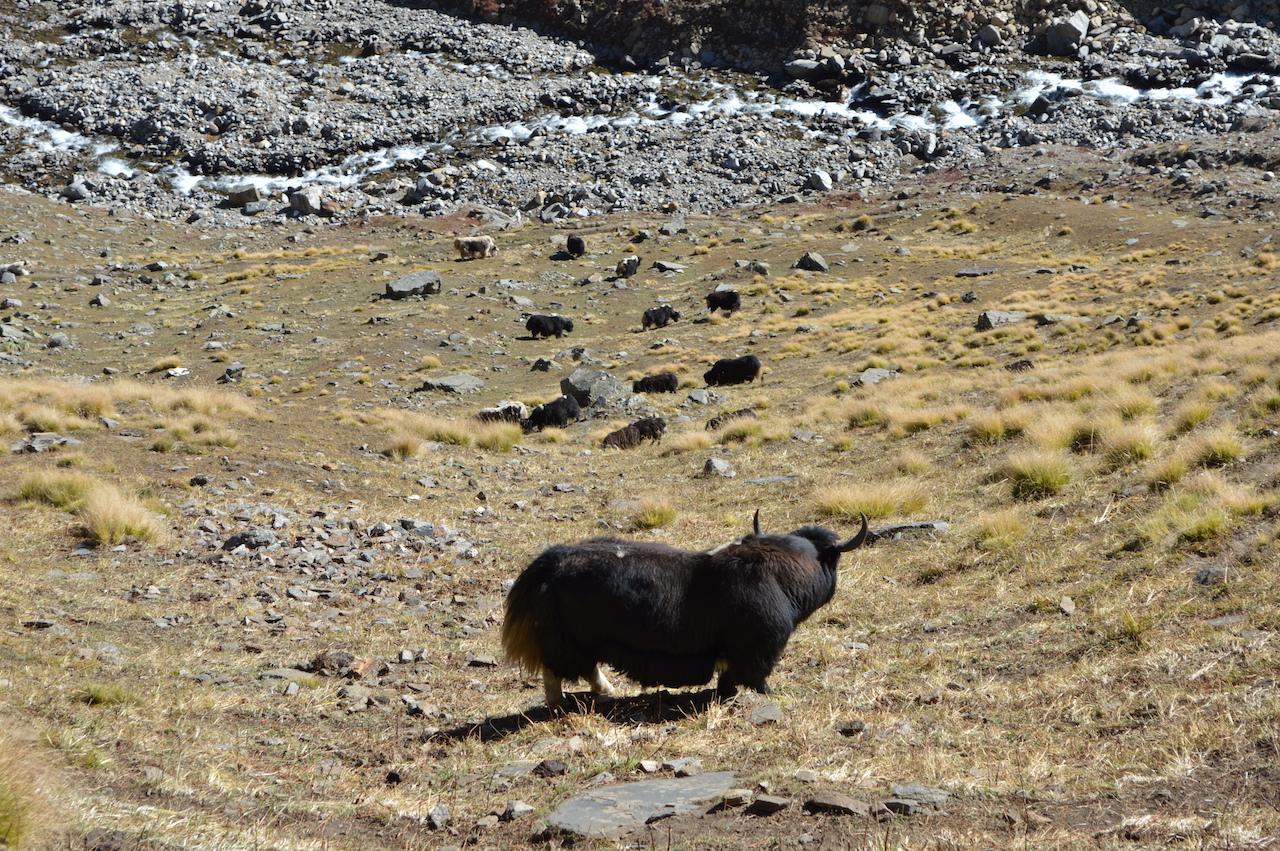 cattles grazing grass enroute rupin pass trek